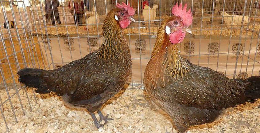 La raza de la gallina utrerana se consolida en su XV feria