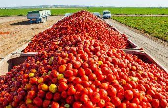 Tomate-Marismas-de-Lebrija-1.jpg_1836374384 847