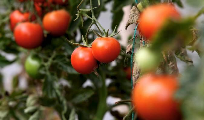 Los Palacios triplica su producción de tomate en los últimos cinco años
