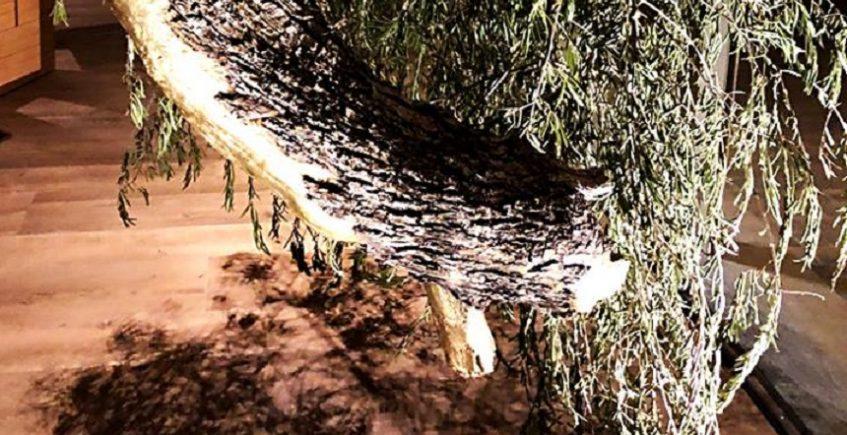 El olivo invertido que aguarda la inauguración de 'Experiencia Alfardós'