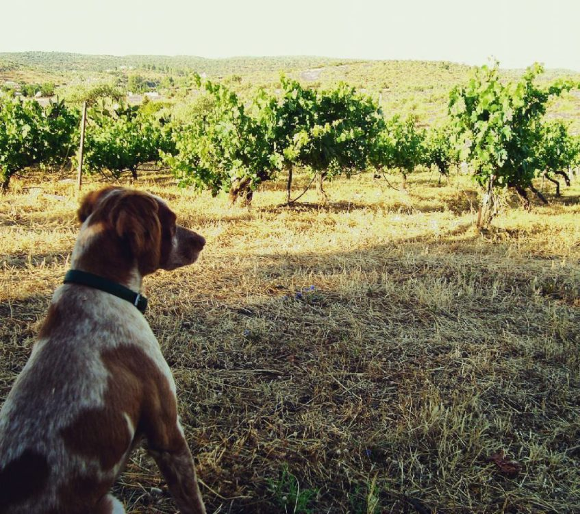 Piú, el espantador de pájaros, el perro de Pedro y José Antonio al que han dedicado su última línea de vinos. Foto cedida por Tierra Savia