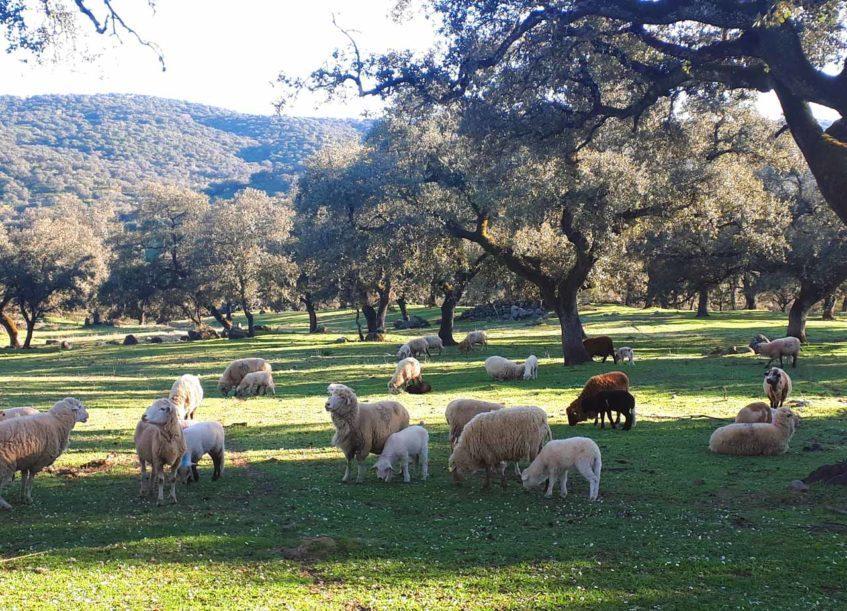 Verónica Martín y David Reyera cuentan con su propia ganadería en ecológico en El Real de la Jara. Foto cedida por Anda la Oveja