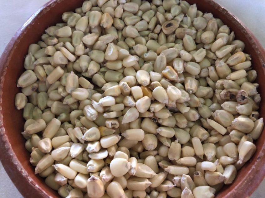 El maíz blanco, base de la gastronomía mexicana tradicional. Foto: CosasDeComé