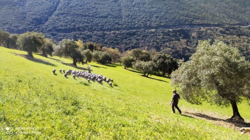 El ganado sube a diario grandes desniveles y se desarrolla mejor físicamente. Foto cedida por La Umbría