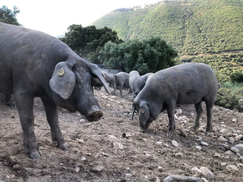 Unos trescientos cochinos ibéricos campan a sus anchas en las 100 hectáreas de La Umbría. Foto: CosasDeComé