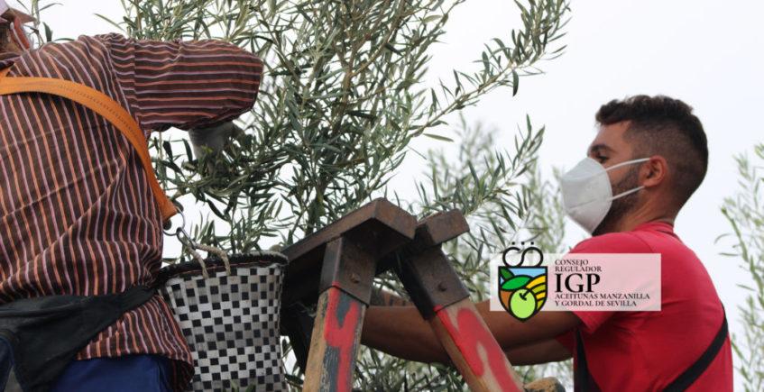Arranca la campaña del verdeo de la aceituna de mesa sevillana
